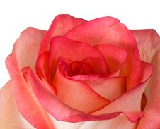 Free Close-up Pink And White Rose Isolated Stock Image - 8608451