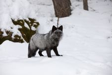 Free Silver Fox In Snow Royalty Free Stock Image - 8609196