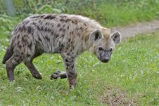 Free Gevlekte Hyena &x28;Spotted Hyena&x29; 001330 Royalty Free Stock Image - 86004926