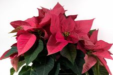 Free Poinsettia Royalty Free Stock Photos - 86005198