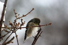 Free Young Goldfinch On Forsythia Royalty Free Stock Photos - 86005438