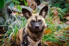 Free African Wild Dog Royalty Free Stock Photo - 86005495