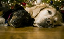 Free Dogs Under Christmas Tree Royalty Free Stock Photography - 86005707