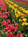 Free Rows Of Tulips Royalty Free Stock Photography - 8610267