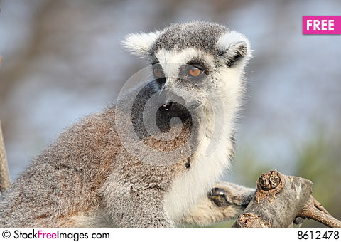 Free Lemur Catta Royalty Free Stock Photos - 8612478