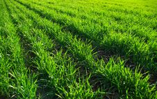 Free Green Grass Royalty Free Stock Images - 8612449