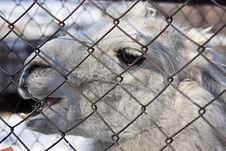 Free Llama. Stock Images - 8612884