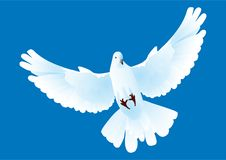 Free White Pigeon Stock Images - 8612994