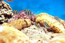 Free Sergente Maggiore Reef Royalty Free Stock Photos - 8613198