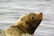 Free Northern Sea-lion (Eumetopias Jubatus) Stock Photos - 8613803