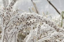 Free Snowy Grasses Stock Image - 8613931