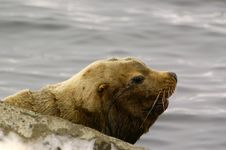 Free Northern Sea-lion (Eumetopias Jubatus) Stock Photography - 8613952