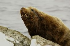 Northern Sea-lion (Eumetopias Jubatus) Stock Photography