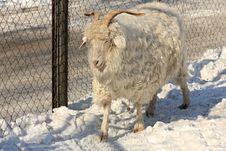 Free Goat Royalty Free Stock Photo - 8614485