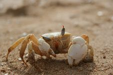 Free Winking Crab Royalty Free Stock Photo - 8614515