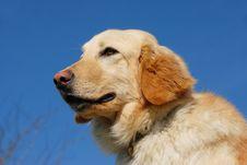 Free Hovawart Dog Royalty Free Stock Photos - 8614858