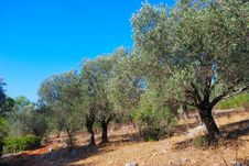 Free Olive Trees Stock Images - 8614874