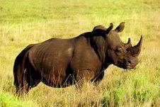 Free Rhino Royalty Free Stock Photo - 8615765