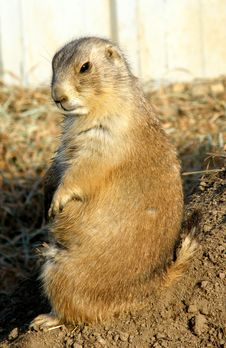 Free Prairie Dogs Royalty Free Stock Photo - 8616705