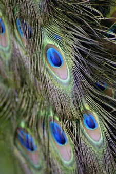 Free Peacock Feathers Stock Photo - 8617280