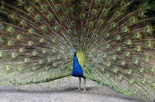Free Peacock Stock Image - 8617641