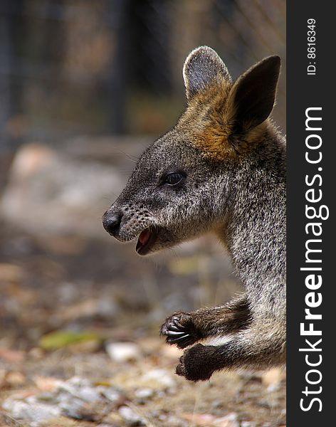 Australian Swamp Wallaby