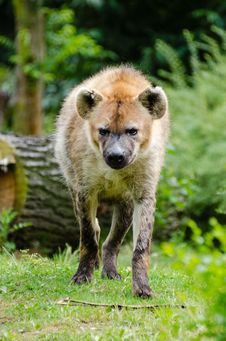 Free Spotted Hyena Royalty Free Stock Photo - 86175525