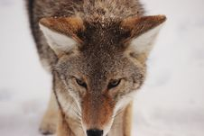 Free Portrait Of Coyote Stock Photo - 86175950