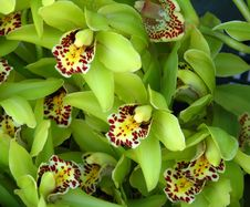 Free Green Orchids With Speckled Beards Stock Photography - 86176362
