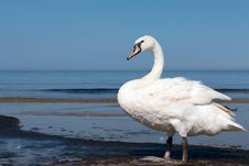 Free Swan Stock Photography - 86176722