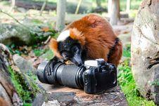 Free Red-ruffed Lemur Eats Nikon F70 Royalty Free Stock Photo - 86178815