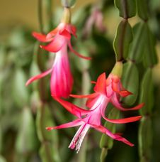 Free Christmas Cactus Blooms Stock Photo - 86179080