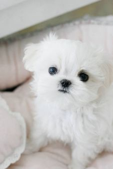 Free Cute Puppies @ December 17, 2015 At 04:22AM Royalty Free Stock Photos - 86179258