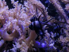 Free Apogon De Kaudern Ou Poisson-cardinal De Banggai &x28;Pterapogon Kauderni&x29; Royalty Free Stock Image - 86179406