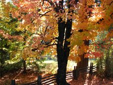 Free Autumn Maple Tree 1 Royalty Free Stock Images - 86179569