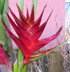 Free Red Heliconia Stock Photos - 86179633
