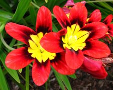Free Red-and-yellow Flowers Stock Image - 86179711