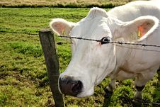 Free 2. PUBLIC DOMAIN DEDICATION Digionbew 10. June July Cow Peering At Photog From Barb Wire LOW RES DSC02548 Royalty Free Stock Images - 86179769