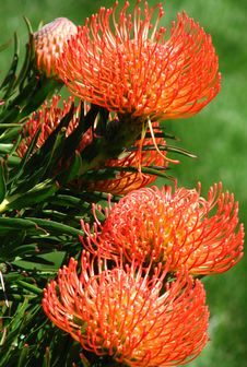 Free Red-and-yellow Protea 3 Royalty Free Stock Photo - 86179795