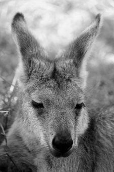 Free Kangaroo Stock Image - 86180041
