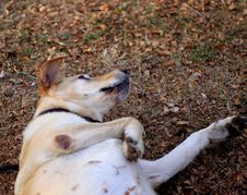Free Dog, Carnivore, Dog Breed, Fawn Stock Photography - 86180252