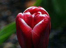 Free Tulips &x28;20&x29; Stock Photo - 86180570