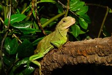 Free Green Lizard On Brown Tree Branch Beside Green Leaves Royalty Free Stock Images - 86182109