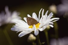 Free Brown Butterfly On Daisy Stock Image - 86182111