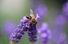 Free Bee On Purple Lavender Royalty Free Stock Photos - 86182928