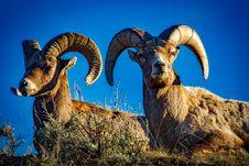 Free Rams Against Blue Skies Stock Image - 86184071