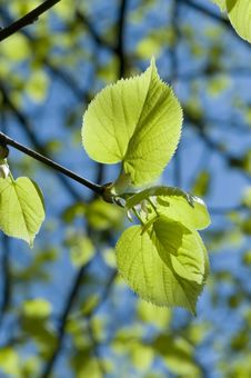 Free Green Leaves Stock Photography - 8621582
