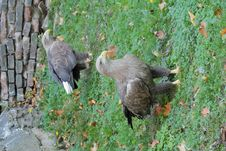 Free Two Eagles Royalty Free Stock Photos - 8622538