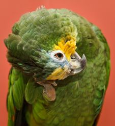 Free Amazon Parrot Royalty Free Stock Image - 8622556