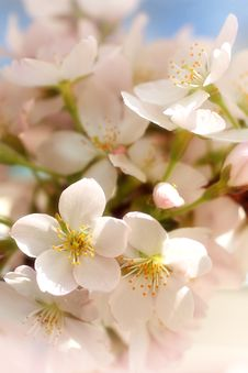 Free Blooming Cherry Flowers Stock Photos - 8623143
